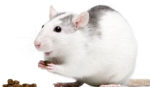 alimentation du rat