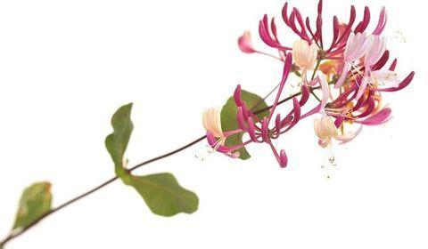 honeysuckle, chevrefeuille, fleurs de bach, fleur de bach