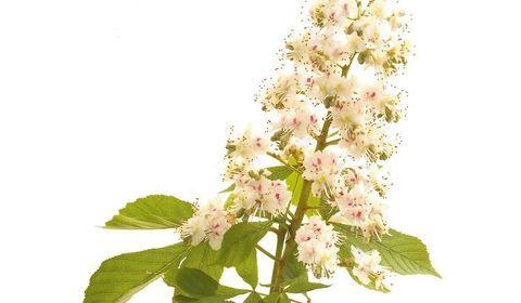 white chestnut marronnier blanc fleurs de bach