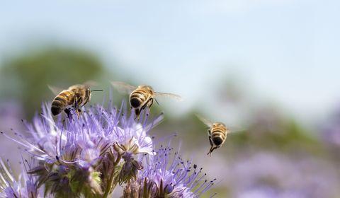 Du venin d'abeille contre les cancers du sein agressifs ?