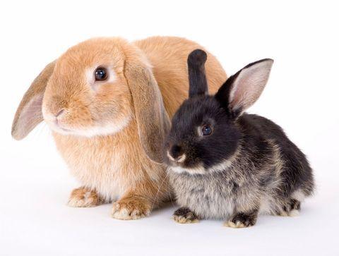Les principales races de lapins