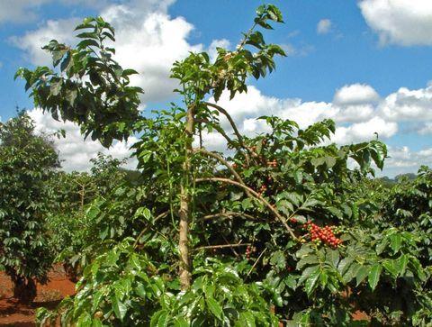 L'arabica, le café le plus consommé