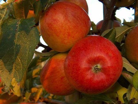 La Braeburn - Quelle pomme pour quelle recette ?