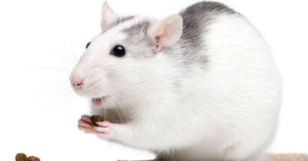 L Alimentation Du Rat Doctissimo