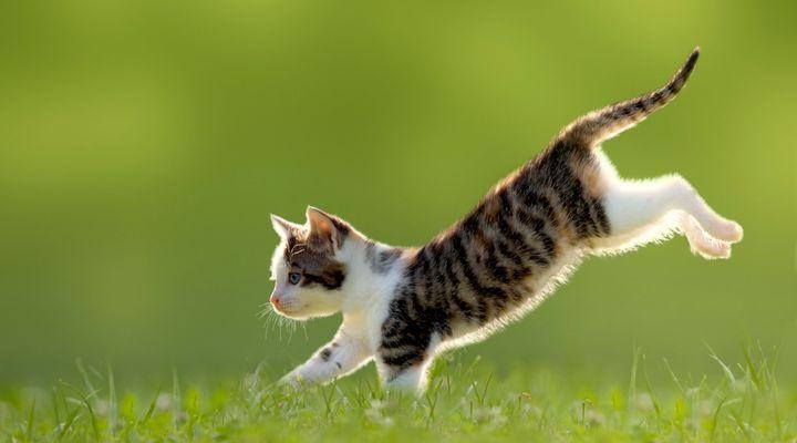 réflexe de redressement du chat