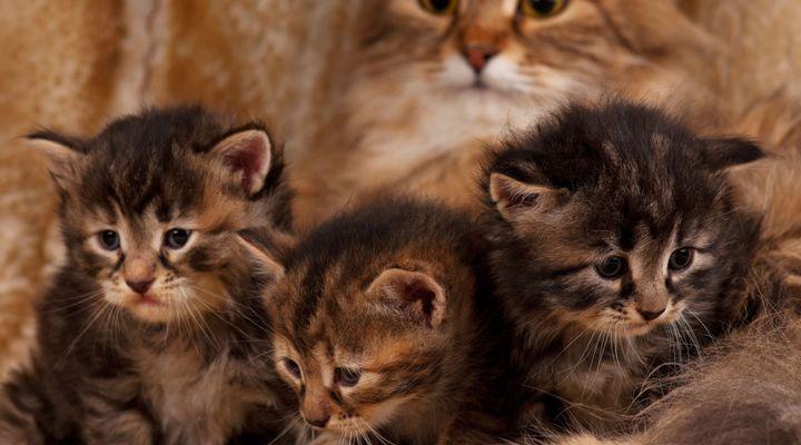 maladie génétique du chat