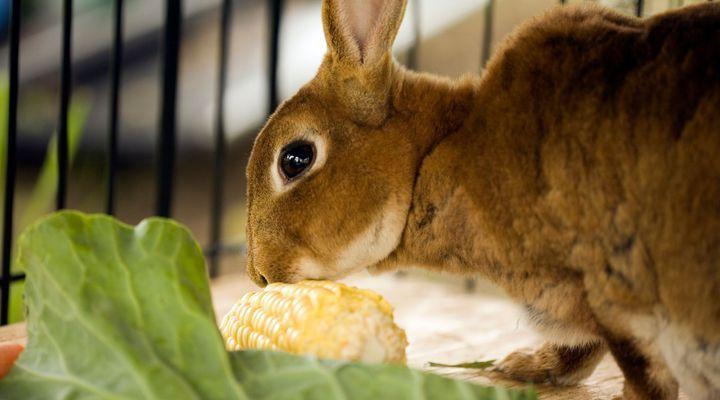système digestif du lapin