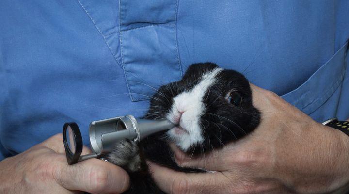 abcès dentaires du lapin