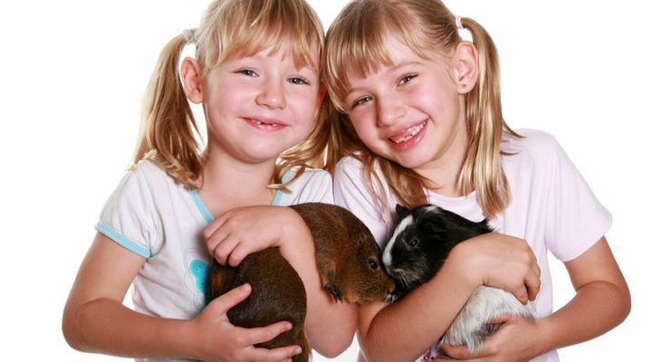 Contention et transport du cochon d'Inde