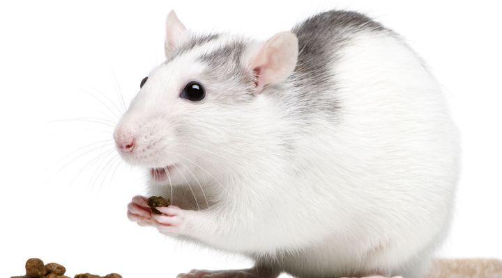 alimentation du rat