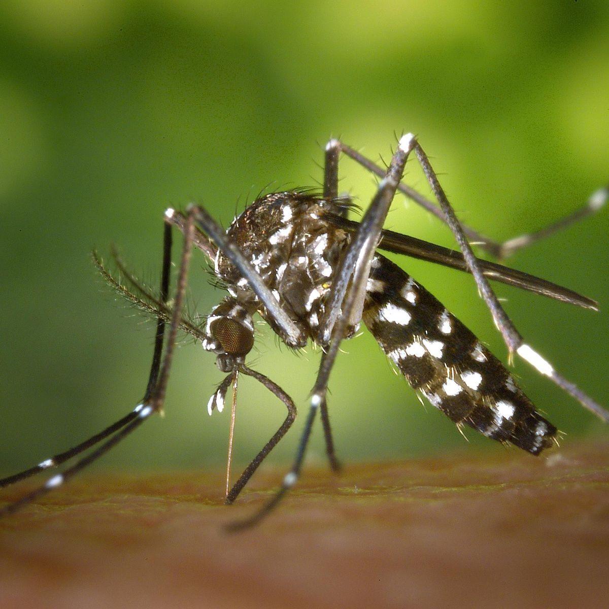 Le moustique-tigre : l'identifier, ses dangers, la carte de sa surveillance en France – Doctissimo