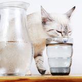 Comment faire boire votre chat ?
