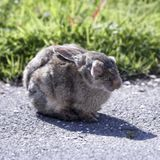 Le coryza du lapin : attention aux écoulements du nez et des yeux !