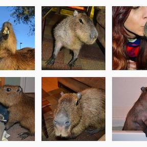 Joe Joe The Capybara