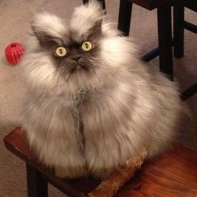 Chat moche Colonel Meow