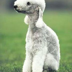 Chien Bedlington Terrier moche