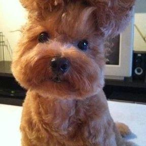 Chien coiffure moche