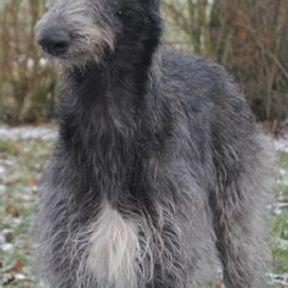 Grand chien moche