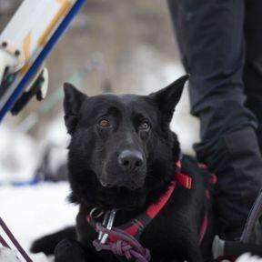 Chien de recherche de victimes d'avalanche