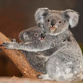 Alkoomie, premier bébé koala de France