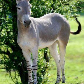Un âne de Somalie