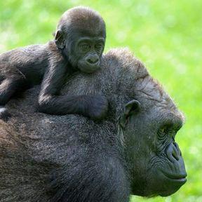 Un bébé gorille des plaines de l'Ouest