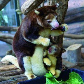 Un kangourou arboricole et son petit