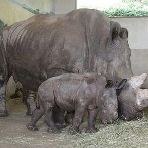 Kanty, premier bébé rhinocéros blanc du ZooParc de Beauval