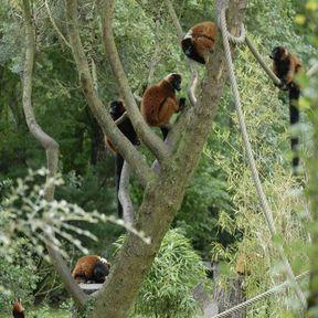 Des lémuriens roux
