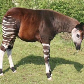 Un okapi, le dernier mammifère découvert au XXème siècle