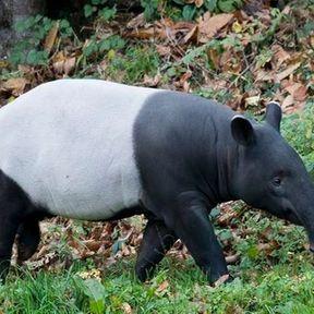 Un tapir au dos blanc