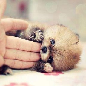 Chien miniature bébé