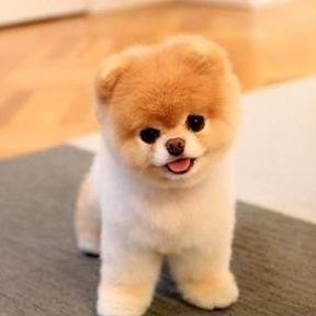 Chien miniature Boo