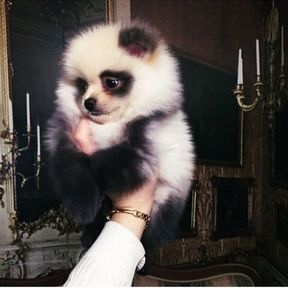 Chien miniature Panda