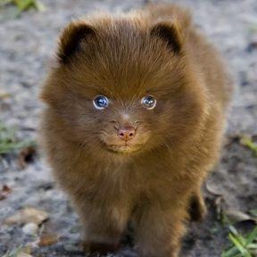 Chien miniature qui ressemble à un ourson