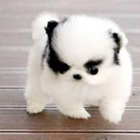 Chien miniature Spitz Poméranien noir et blanc