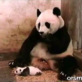 Un bébé panda éternue