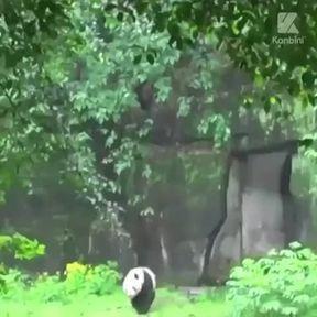Des pandas se roulent dans l'herbe