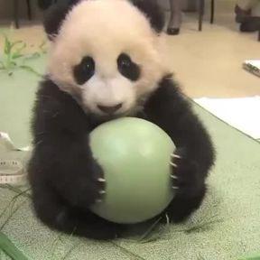 Un bébé panda joue avec une balle