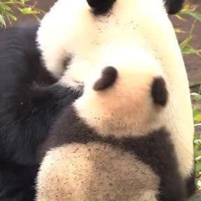 Un bébé panda très maladroit