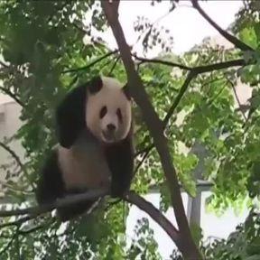 Un gros panda casse un arbre