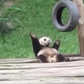 Un panda fait une petite danse