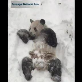 Un panda se roule dans la neige