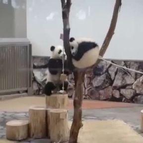 "Un panda trop ""thug"""