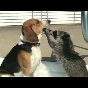 Profession : raton laveur - dentiste pour chien
