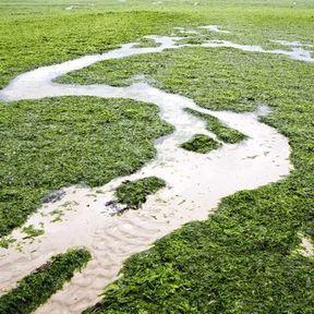 La pollution par les algues vertes