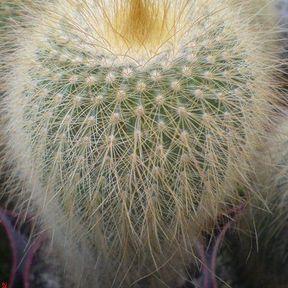 Le cactus cierge