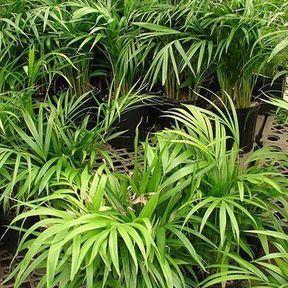 Le palmier d'Arec