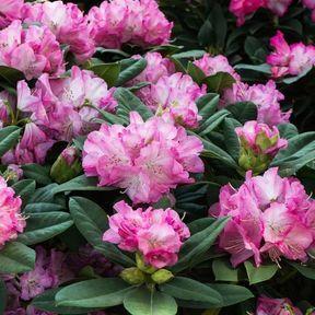 Rhododendron ou azalée