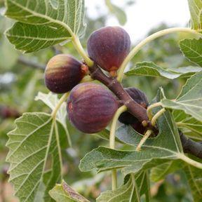 Les traditions autour du placenta en Algérie